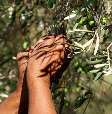 Cueillette des picholines, olives vertes des Alpilles