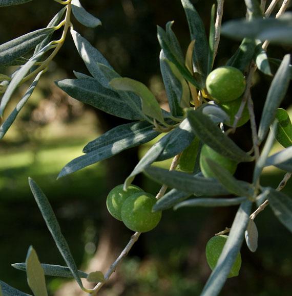 Branche d'olivier avec olives noires pas encore mûres